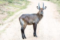 Męska afrykańska antylopa - krzak samiec Zdjęcie Stock