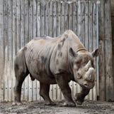 Męska Afryka Wschodnia Czarna nosorożec Zdjęcia Royalty Free