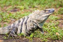 Męska Amerykańska iguana - iguany iguana Obraz Royalty Free