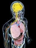 Męska anatomia ilustracja wektor