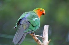 Męska Australijska królewiątko papuga siedzi na drzewie Zdjęcia Stock
