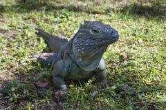 Męska Błękitna iguana w cieniu Zdjęcie Stock