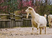 Męska biała kózka z brodą, biel dojna kózka popularny holenderski hybrydowy traken, zwierzęta gospodarskie fotografia stock