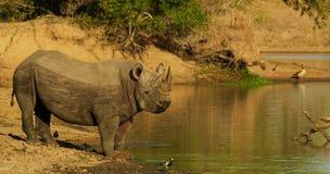 Męska Czarna nosorożec przy wodą Obrazy Royalty Free