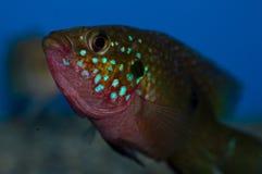 Męska Czerwona Biżuteryjna Cichlid ryba Zdjęcia Royalty Free