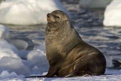 Męska futerkowa foka odpoczywa na śnieżnym banku Zdjęcia Stock