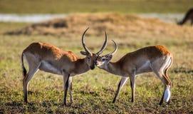Męska i żeńska antylopa podczas kotelnia sezonu Botswana Okavango Delta Zdjęcia Royalty Free