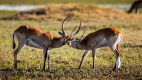 Męska i żeńska antylopa podczas kotelnia sezonu Botswana Okavango Delta Obrazy Stock