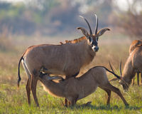 Męska i żeńska antylopa podczas kotelnia sezonu Botswana Okavango Delta Fotografia Royalty Free