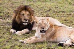 Męska i żeńska lew para na zielonej trawie Obraz Stock