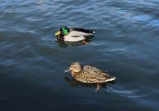 Męska i żeńska mallard kaczka pływa (Anas platyrhynchos) fotografia stock