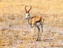 Męska impala antylopa, Aepyceros melampus, żyjący w wschodnim i afryce poludniowa Obrazy Royalty Free