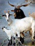Męska kózka obok dwa żeńskich kózek Fotografia Stock