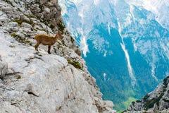 Męska koziorożec nad faleza przed góry Triglav obywatela normą Zdjęcia Stock