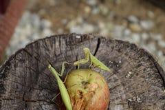 Męska modlenie modliszka na jabłku Modliszka patrzeje dla zdobycza Modliszka insekta drapieżnik Zdjęcie Stock