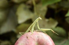 Męska modlenie modliszka na jabłku Modliszka patrzeje dla zdobycza M Zdjęcia Royalty Free