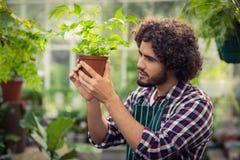 Męska ogrodniczka egzamininuje puszkującej rośliny Obraz Royalty Free