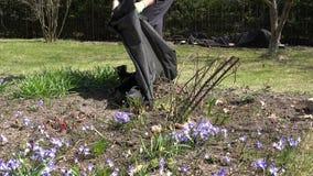 Męska ogrodniczka odkrywa różanego kwiat rośliny krzaka po zimy 4K zbiory