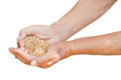 Męska ręka chwyta garść z pszenicznymi adra Obrazy Royalty Free