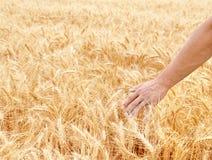 Męska ręka w złocistym pszenicznym polu Obraz Royalty Free