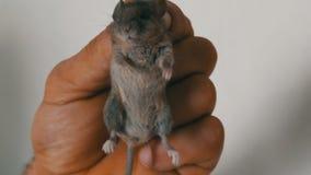Męska ręki mienia małego domu mysz łapiąca w skórze Szara ślepuszonka łapiąca zbiory wideo