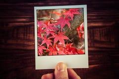 Męska ręki mienia polaroidu fotografia czerwony Klonowy drzewo opuszcza i Zdjęcia Stock