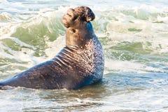 męska słoń foka Obrazy Royalty Free