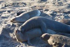 Męska słoń foka próbuje kojarzyć w parę z kobietą Fotografia Stock