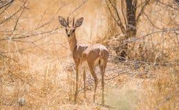Męska steenbok antylopy pozycja w afrykańskim krzaku Fotografia Stock