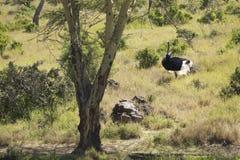 Męska Strusia zbliża się kobieta dla matować w Lewa Conservancy, Kenja, Afryka Obraz Royalty Free