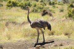 Męska Strusia zbliża się kobieta dla matować w Lewa Conservancy, Kenja, Afryka Zdjęcia Stock