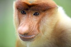 Męska trąbiasta małpa Obrazy Royalty Free