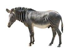Męska zebra odizolowywająca na bielu Obraz Royalty Free