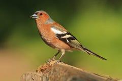 Męska zięba główna ostrość jest na ptakach ono przygląda się z colourful z tła Zdjęcia Royalty Free