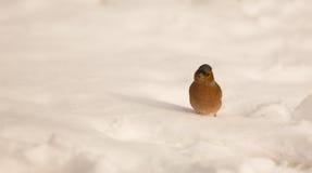 Męska zięba na śniegu Zdjęcia Stock