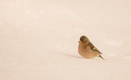 Zięba na śniegu Zdjęcia Royalty Free