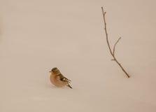 Zięba z gałązką na śniegu Zdjęcie Royalty Free