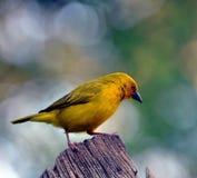 Męski Żółty tkacza ptak Fotografia Stock