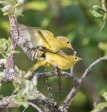 Męski Żółtego Warbler Lęgowy zachowanie Obrazy Stock