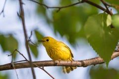 Męski Żółty Warbler Zdjęcia Royalty Free