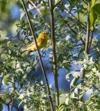 Męski Żółty Warbler w Alaska Obrazy Stock