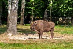 Męski żubr w parku narodowym w BiaÅ 'owieÅ ¼ a obraz royalty free