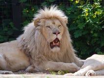Męski Afrykański biały lew Zdjęcia Stock