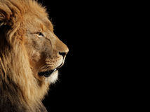 Męski Afrykański lew na czerni Fotografia Royalty Free