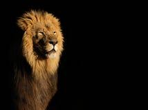 Męski Afrykański lew na czerni Zdjęcia Royalty Free