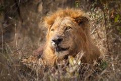 Męski Afrykański lew (Pathera Leo) Obraz Royalty Free