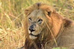 Męski Afrykański lew Południowa Afryka Zdjęcie Royalty Free