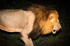 Męski Afrykański lew Przy nocą Zdjęcie Royalty Free