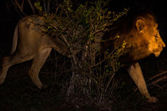 Męski Afrykański lew Przy nocą Zdjęcia Stock