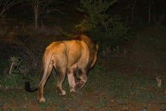 Męski Afrykański lew Przy nocą Obraz Stock